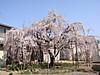 Sakura2012042101